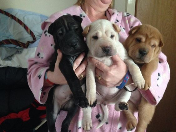 Stunning Sharpei Puppies Ready Now Available In Bolton Uk Dogs