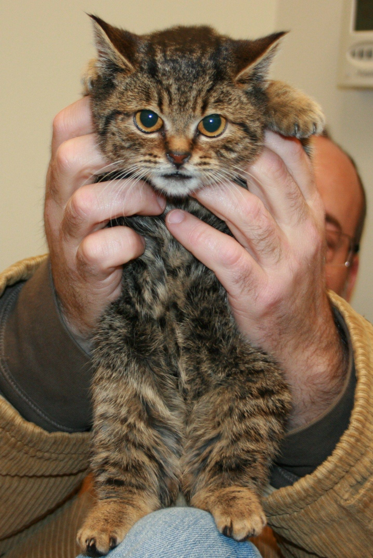 Peppermint, the dwarf cat. Looks like a kitten but is ...