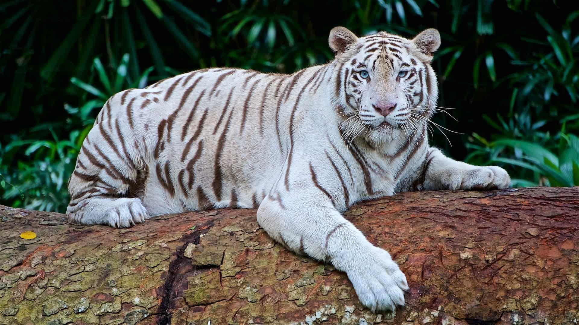 White Tiger Facts Tiger Facts White Tiger Facts Pet Tiger