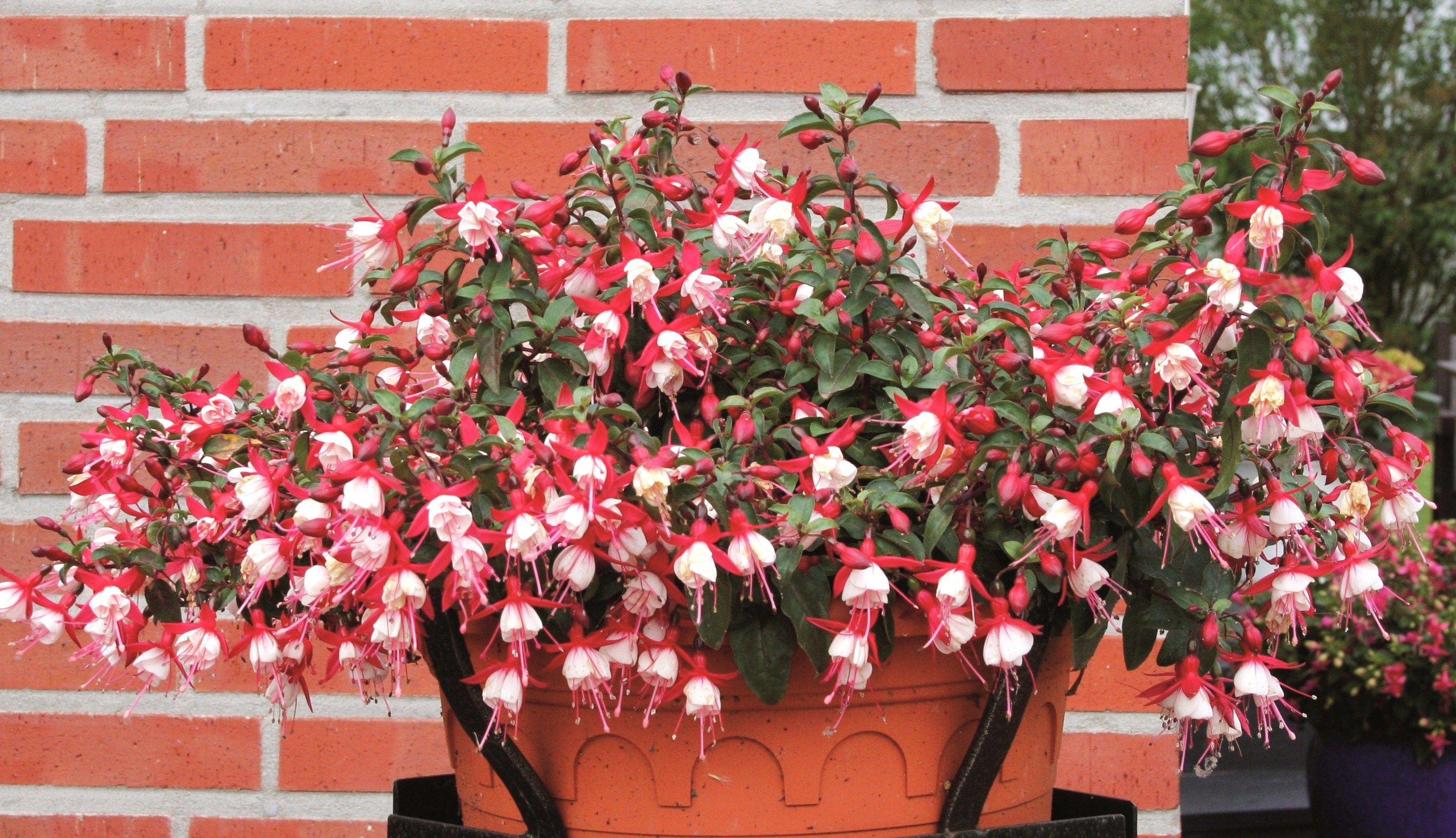 Fuchsia Fuchsita Red White