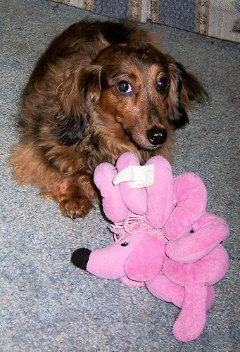 This Is Meg My Mini Long Haired Dachshund With Her Toy Poodle