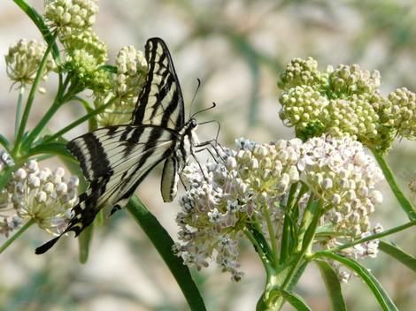 Asclepias Fascicularis, Narrow Leaf Milkweed With Swallowtail Butterfly