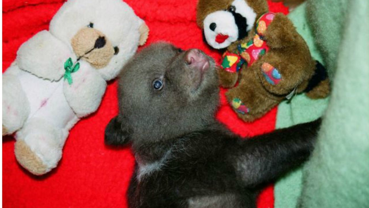Baby Bears Adopted at the Gauja National Park