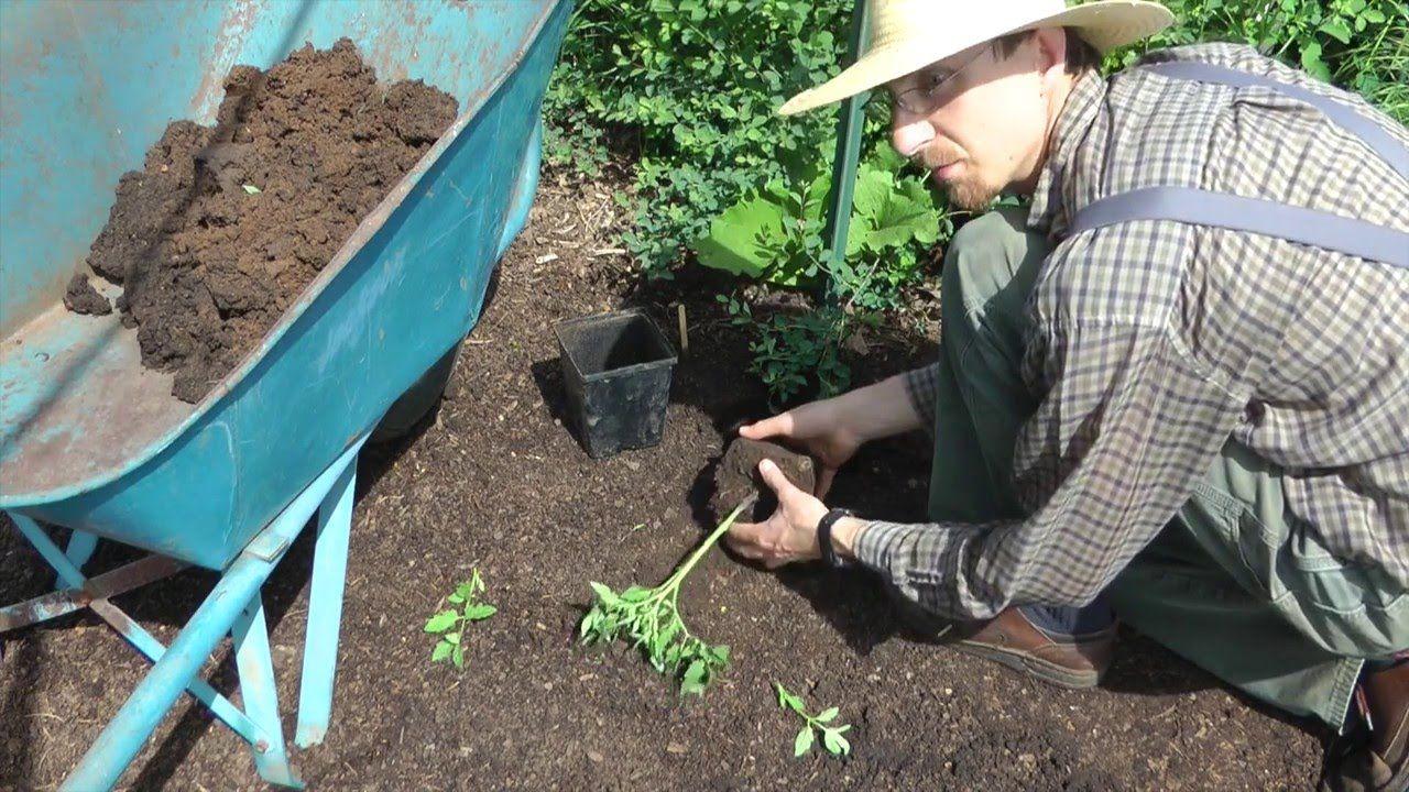 Homestead tomato planting video tomato plant care