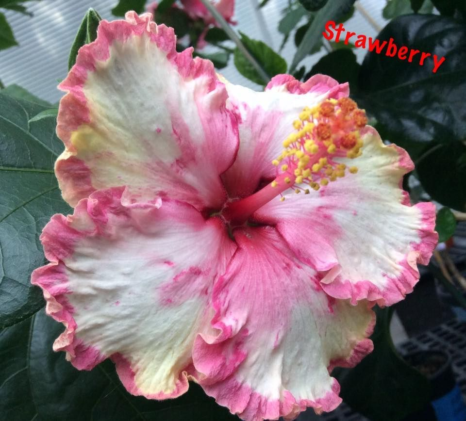 Strawberry Hibiscus Pinterest Hibiscus Hibiscus Flowers And