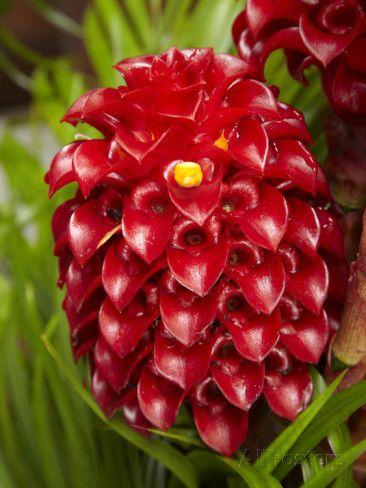 david-wall-tropical-flower-in-garden-coral-coast-viti-levu-fiji-south-pacific.jpg (366×488)