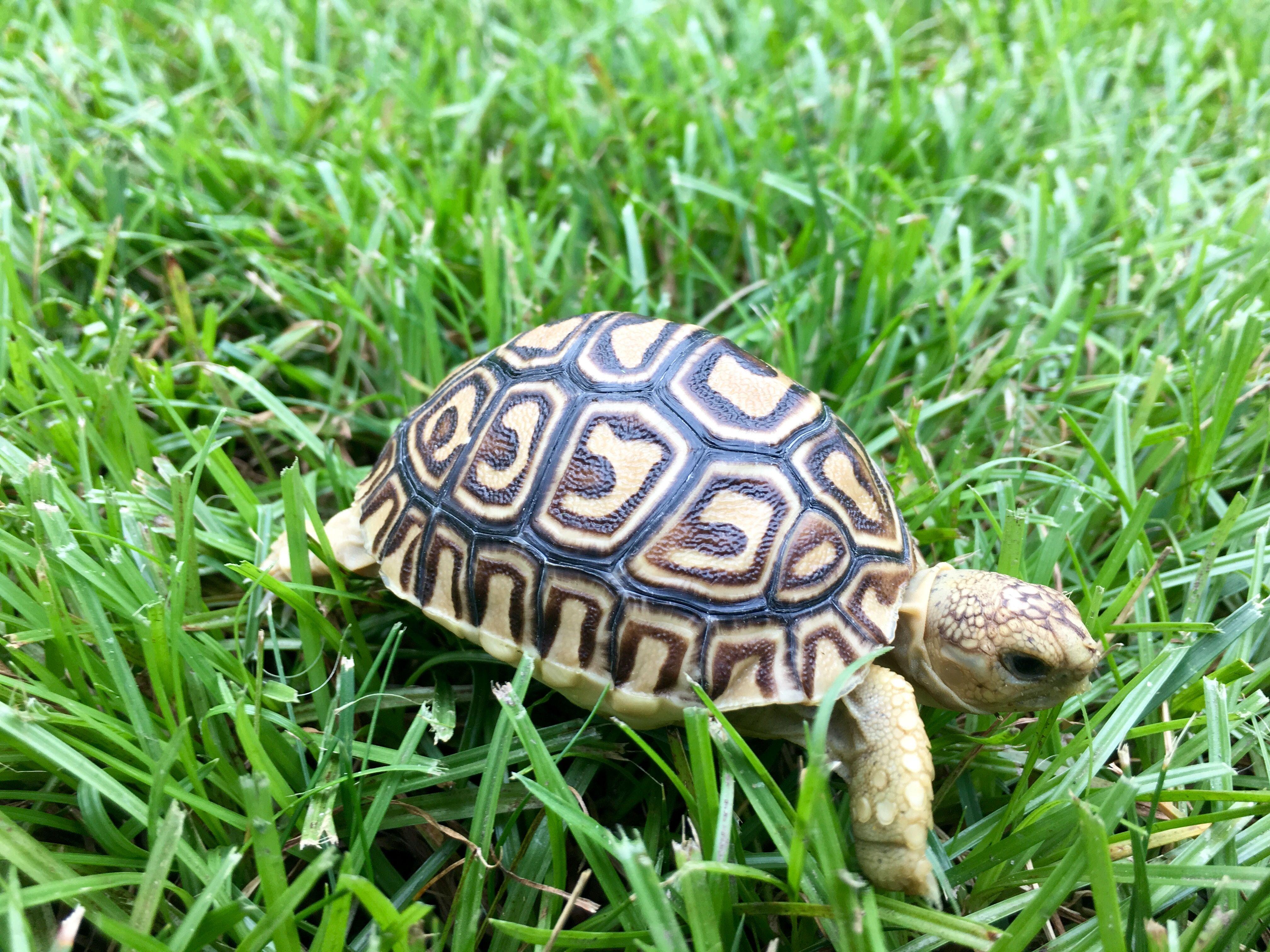 Baby Leopard Tortoises For Sale Leopard Tortoise Hatchlings For Sale Online Leopard Tortoise Baby Leopard Tortoises