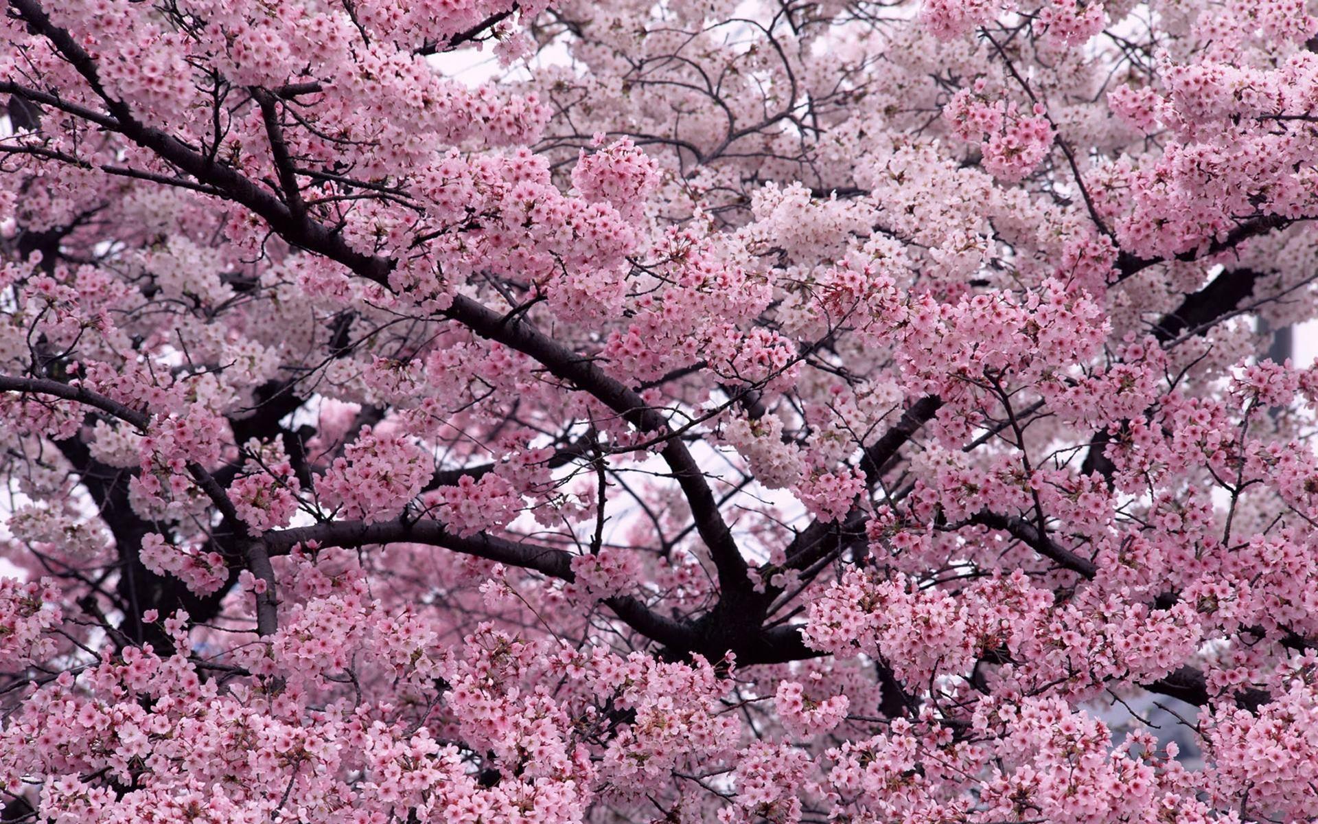 Japanese Pink Cherry Seeds Beautiful Blossom Sakura Tree Oriental Sweet Prunus