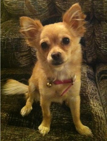 Pin By Lori Pullan On Animals Pomeranian Chihuahua Mix