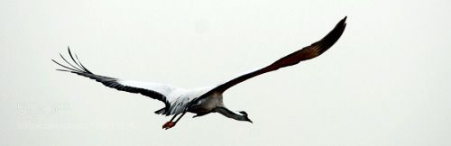 Gruidae im Flug (indien) by Archko  bird animal fly segeln Vogel Tier Rajasthan Indien Flug flyiing Gruidae Kranisch Archko