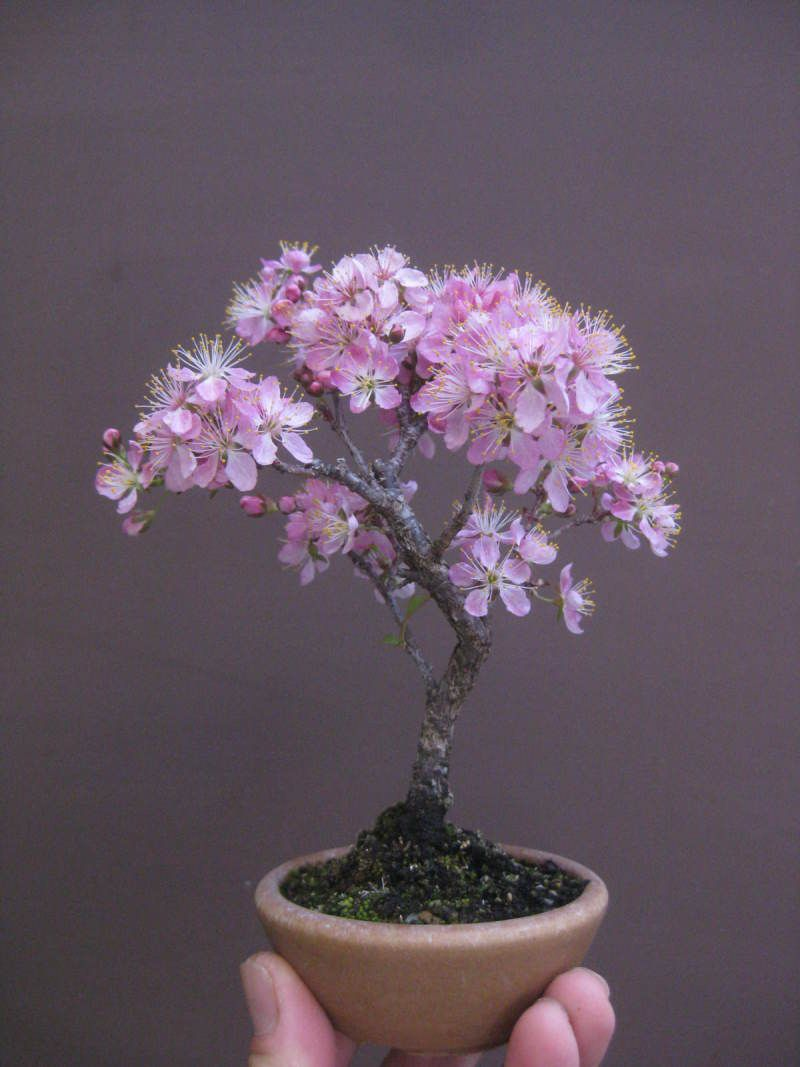 Truly Elegant Small Bonsai Pink Flowering Cherry Would Be My Guess