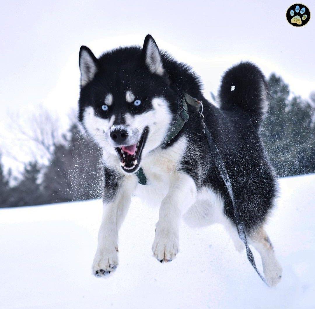 [SIBERIAN HUSKY] FROM rileys_tail Siberian husky, Husky