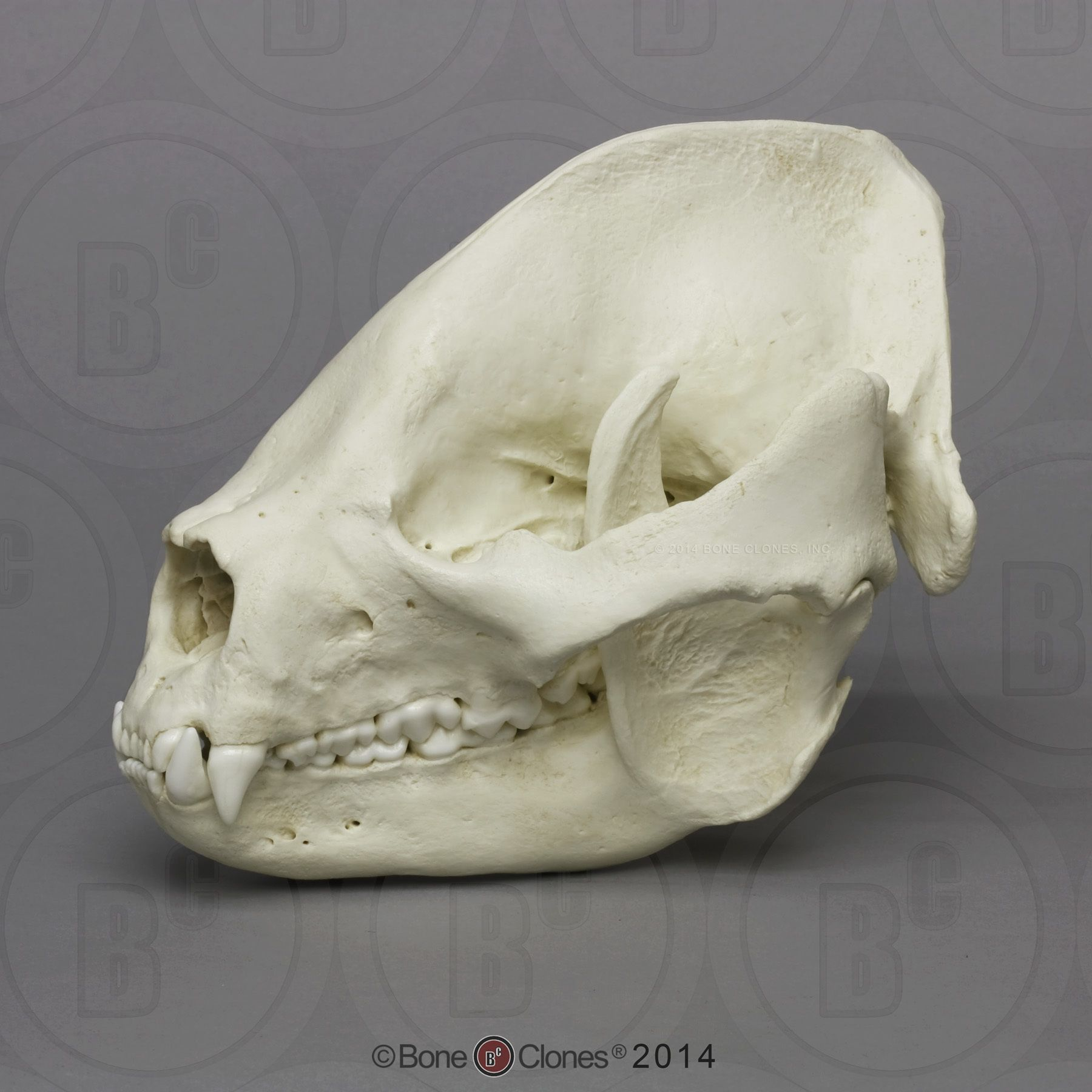 Giant Panda Skull, Adult - Bone Clones, Inc. - Osteological ...