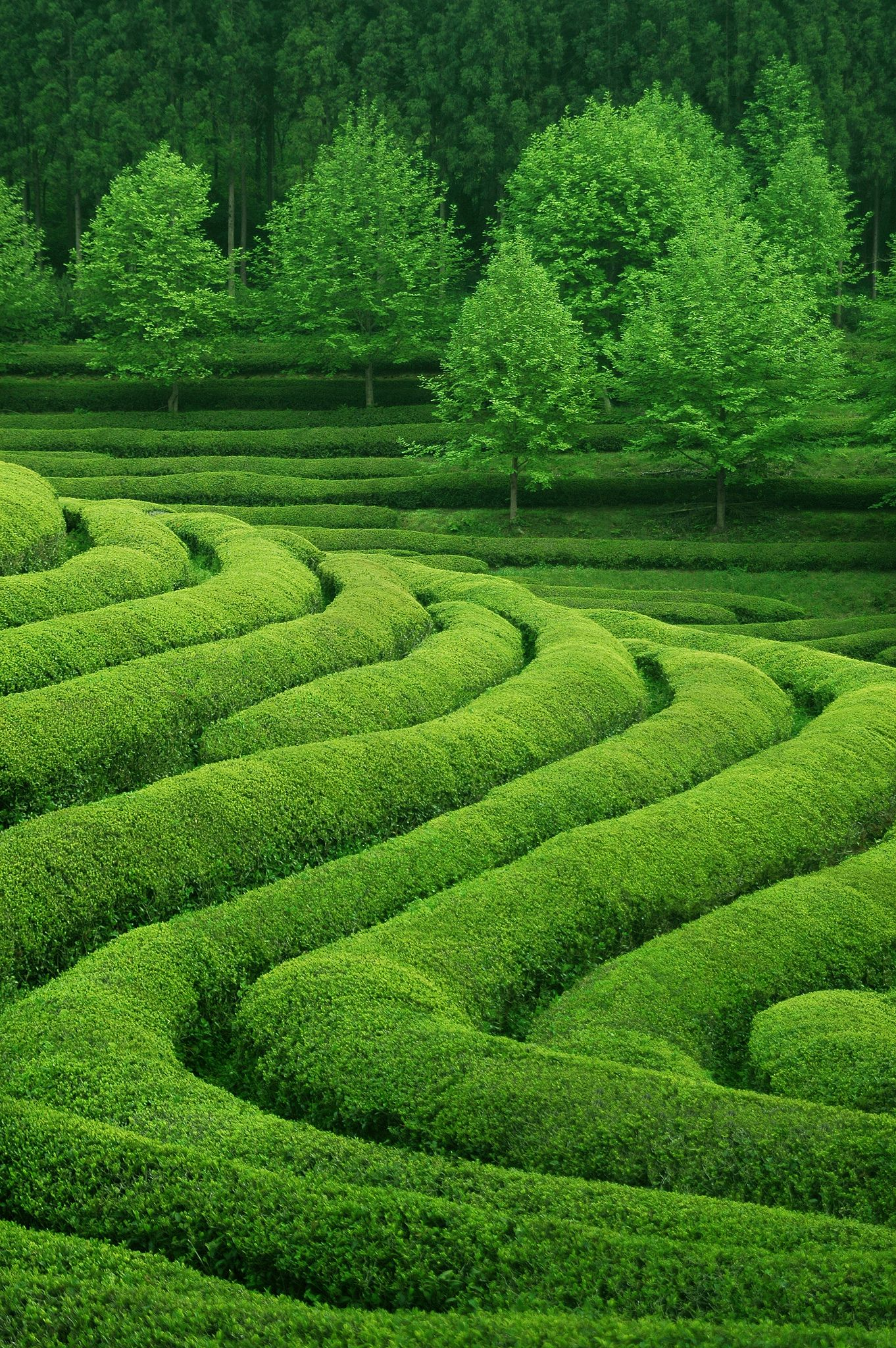 Tea Waves Green Landscape Landscape Nature Photography