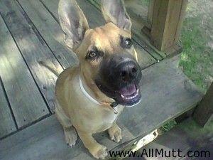 Juli The Boxer German Shepherd Dog Mix Shepherd Dog Mix German