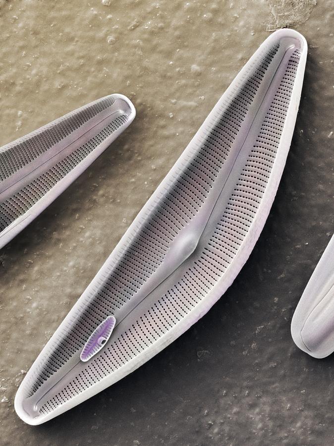 Diatom frustules (SEM) by Science Photo Library