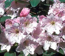 Rhododendron Cadis Rhododendron Rhododendron Plant Plants