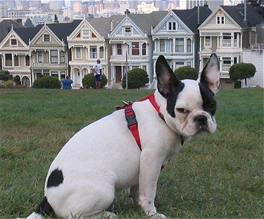 San Fran Frenchie Puppy Dog Pictures Bulldog
