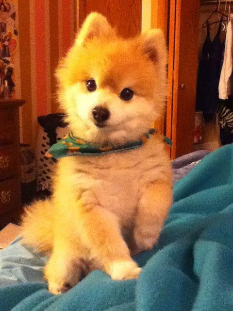 My 12 year old Pomeranian Teddy Bear with his hair cut ...