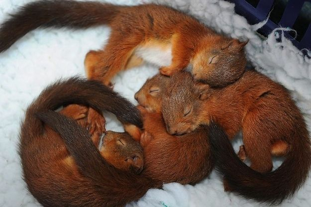 Snuggling squirrels all curled up
