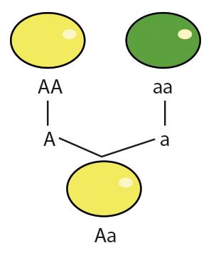 Leyes De Mendel Gregor Mendel Pie Chart Science