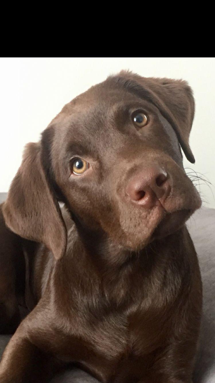 My Sweet Girl Nova Chocolate Lab Puppies Black Dog Lab Puppies