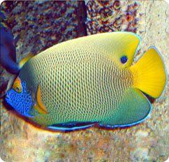 Blueface Angelfish Yellowface Angelfish Pomacanthus Xanthometopon Angel Fish Deep Sea Creatures Cool Fish