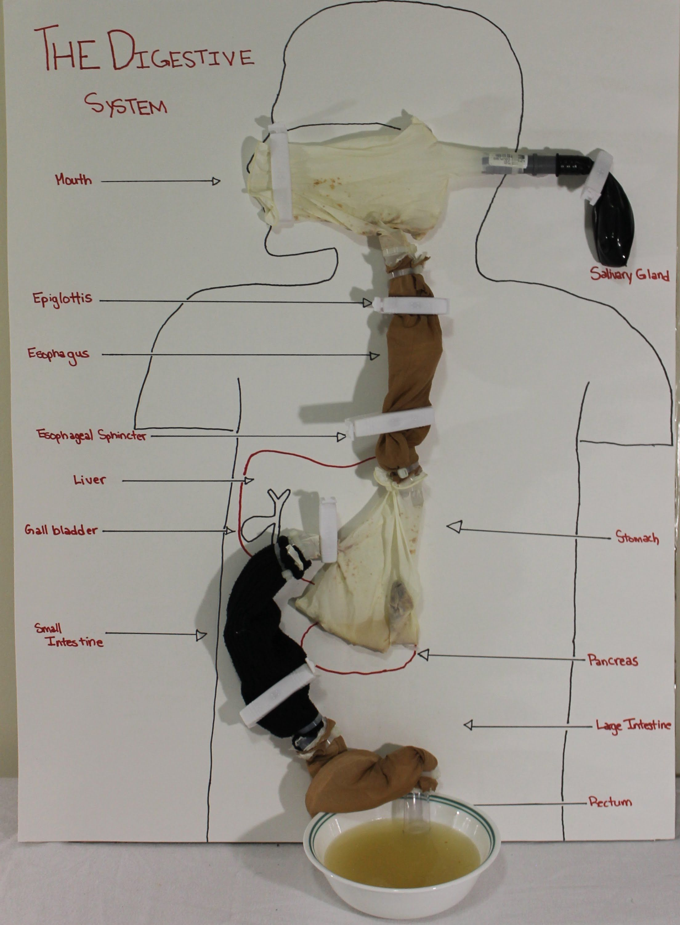 Working Model Of Digestive System Science Activities