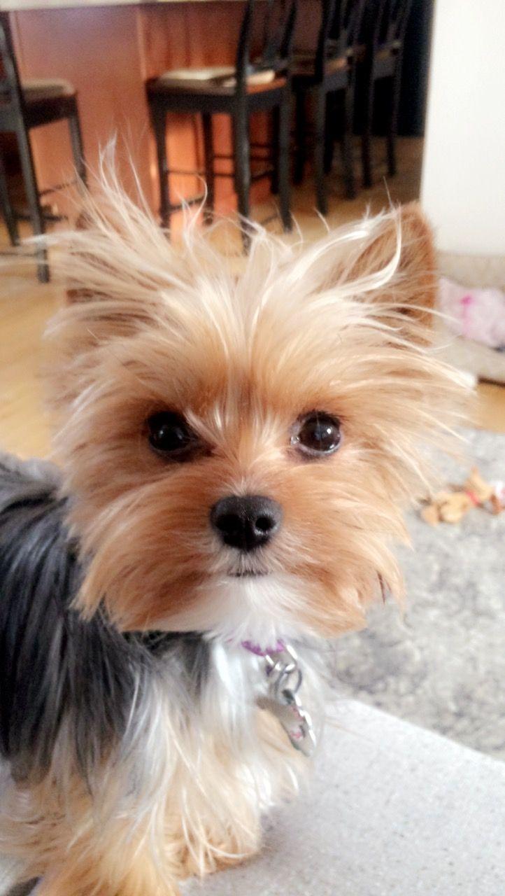 ️TEDDY ️ Yorkshire terrier, Yorkshire terrier hund und