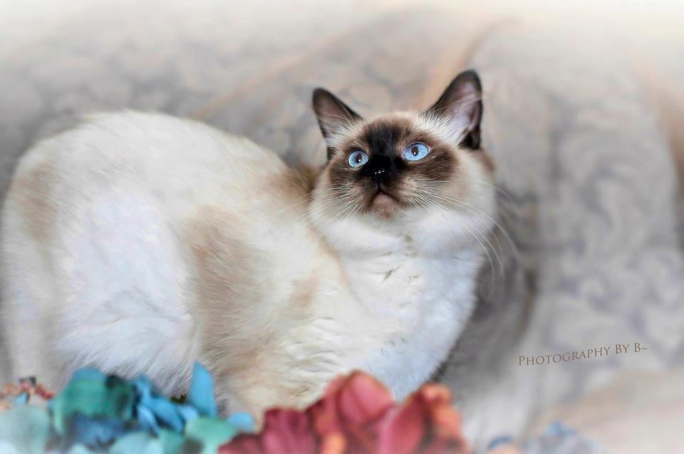 Seal Point Ragdoll Girl Serenity Of Moonrise Ragdoll Cat Ragdoll Kittens For Sale Ragdoll Kitten