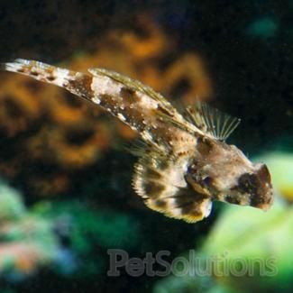 Scooter Blenny Dragonets For Saltwater Aquariums Petsolutions