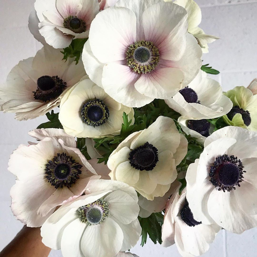 I Can T Believe That Our Anemones Are Still Blooming In Years Past I Ve Planted Anemone Ranunculus And Poppies In A Anemone Anemone Flower Heirlooms Flowers