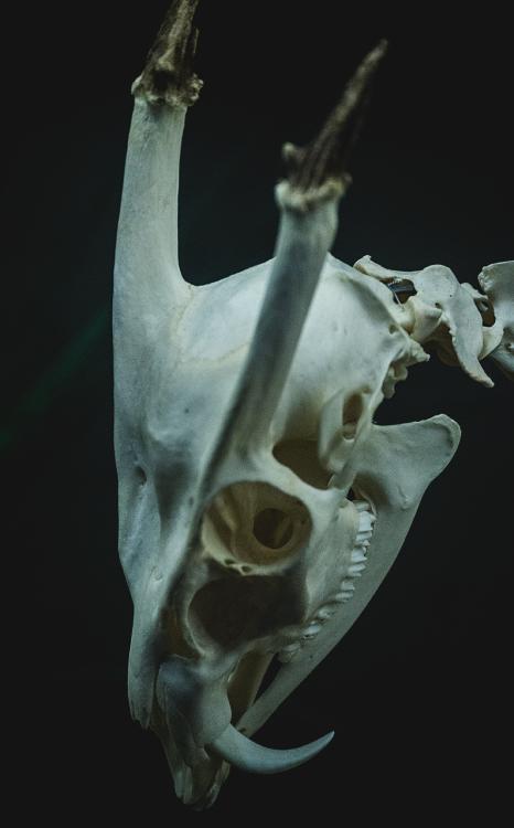 spoopyjackal: muntjac | cráneo | Pinterest | Huesos, Anatomía animal ...
