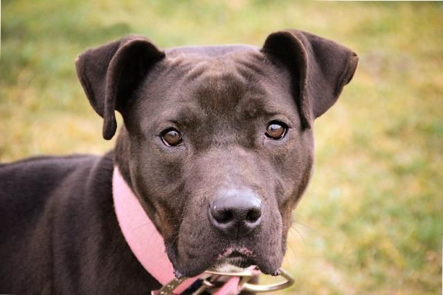Pink is an adoptable Labrador Retriever searching for a