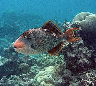 Titan Triggerfish Sea Fish Fish Fish Pet