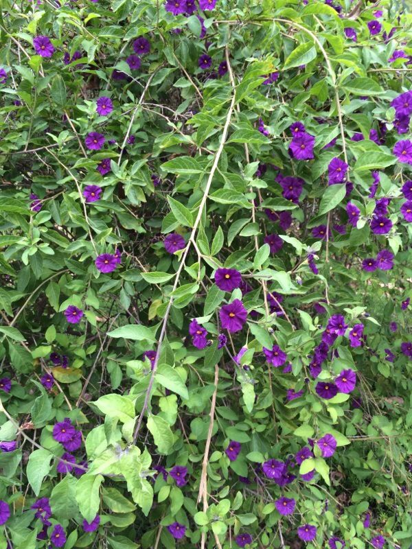 Free Plant Identification With Images Plants Purple Flowers Front Yard