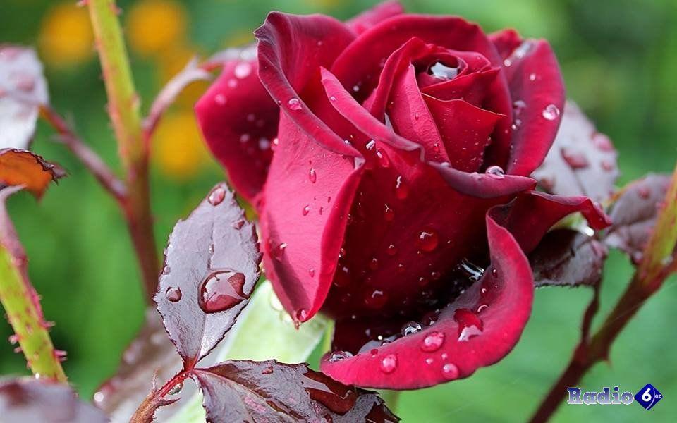 Qizilgul Sekilleri Google Kereses Flowers Rose Rose Buds