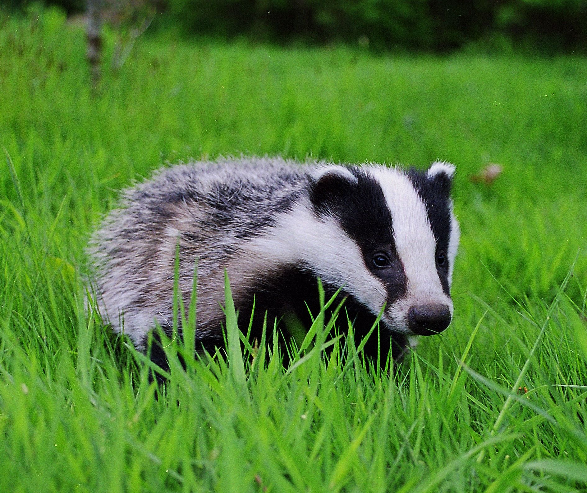 Honey badger (animal): description, photo and habitat 28