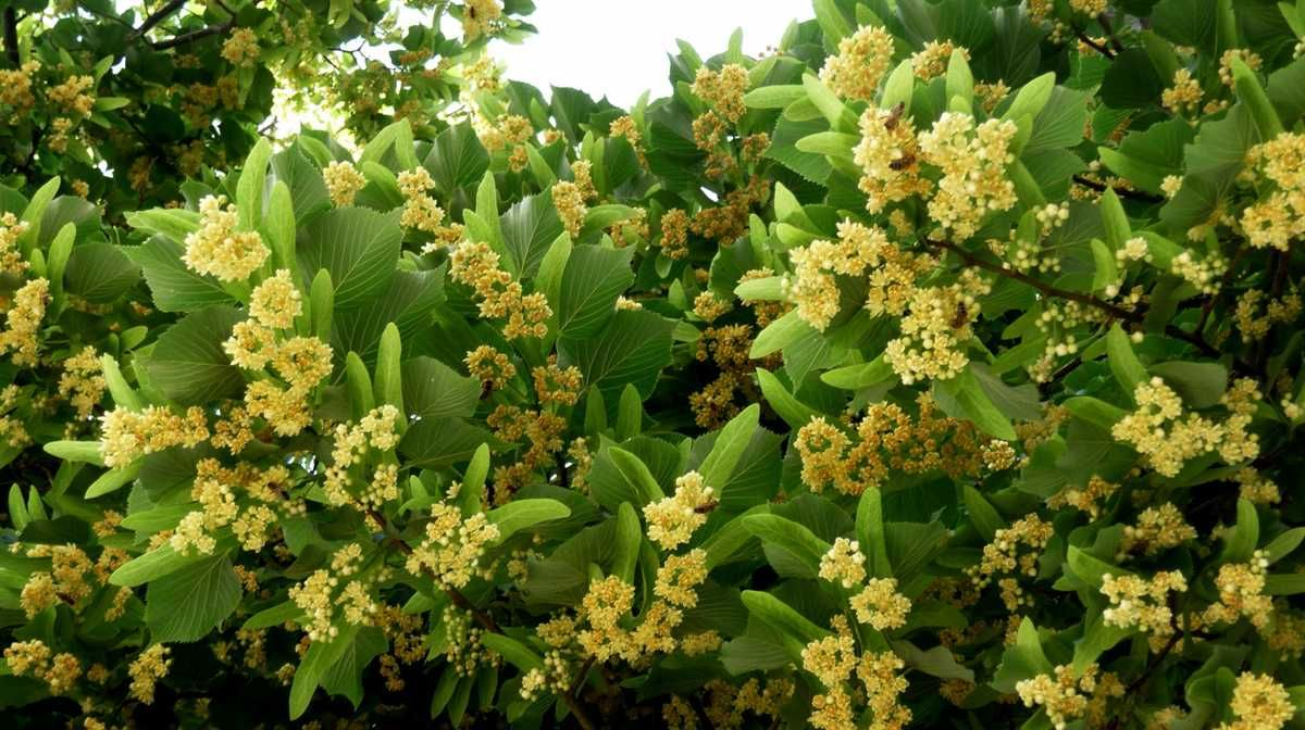 The Flowers Are Small White Yellow Color And Aromatic Because Of