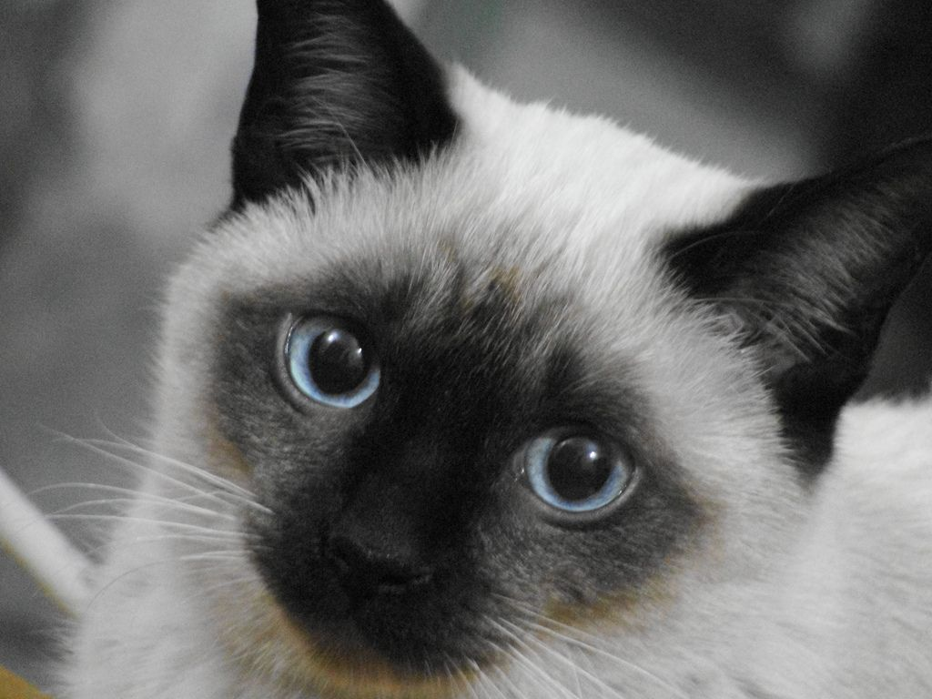 Meet Nutmeg The Cat The 31 Year Old Cat The Oldest Living Cat In The World Siamese Kittens Cats Cat Breeds