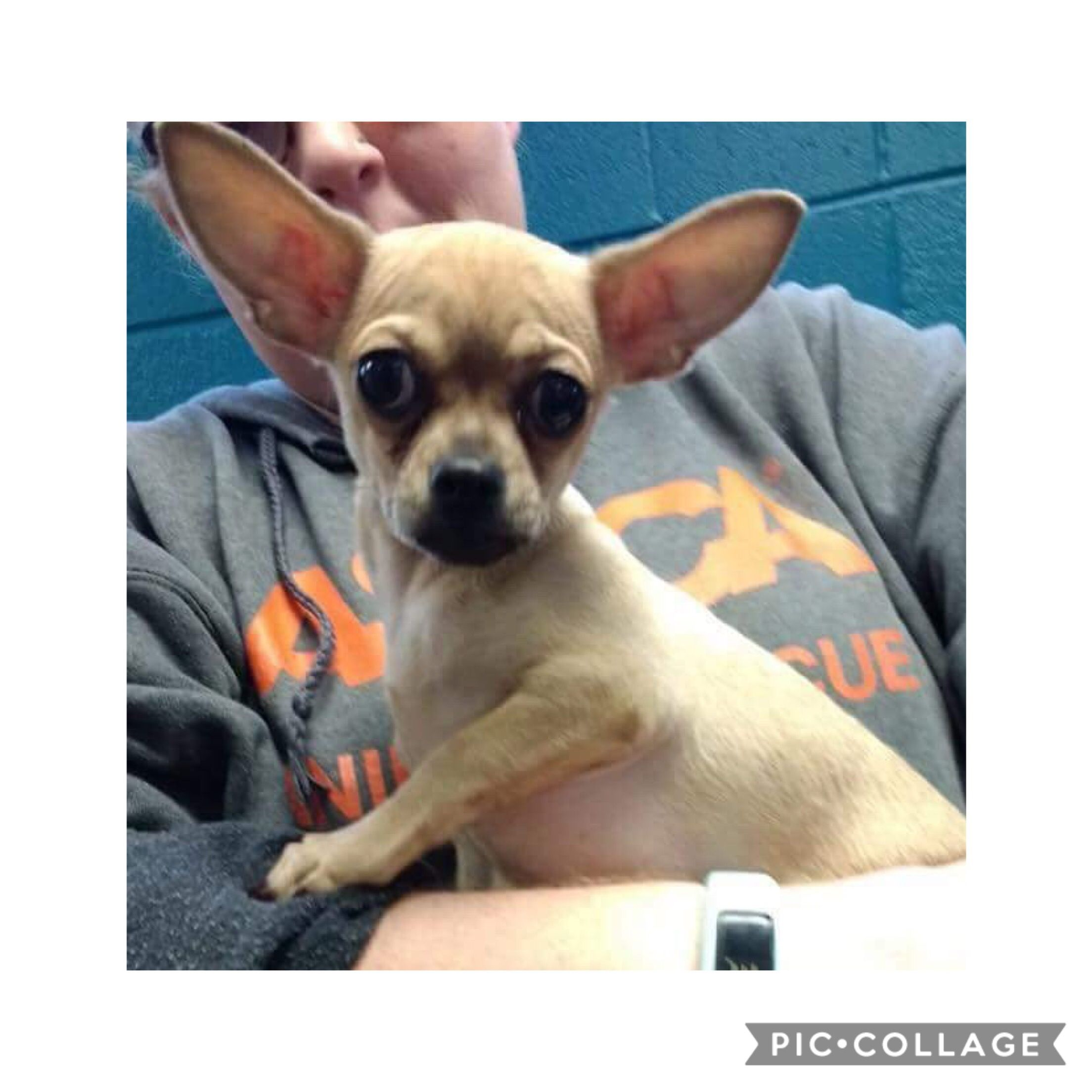 Chihuahua dog for Adoption in Holly Springs, NC. ADN
