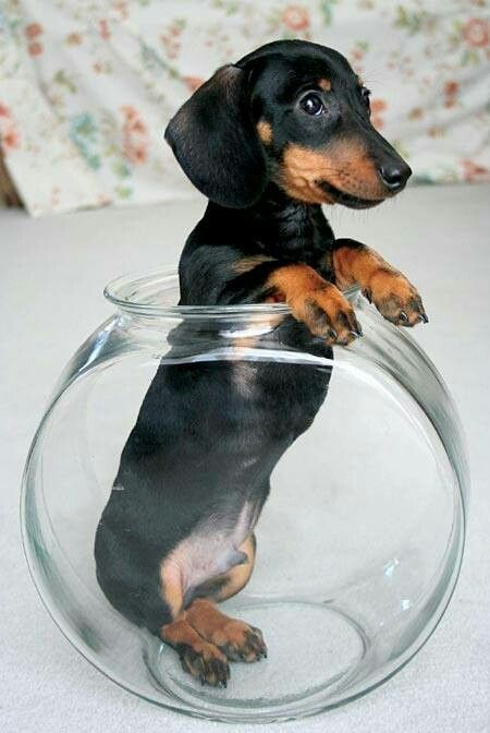 Simple Weiner Chubby Adorable Dog - 52ab67162943f3f20ae41284f09a5019  Trends_389466  .jpg