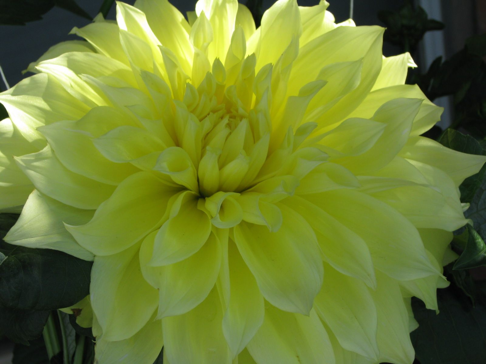 Giant yellow dahlia flowers pinterest dahlia and flowers giant yellow dahlia izmirmasajfo