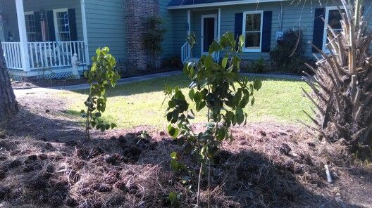 New camelia bushes