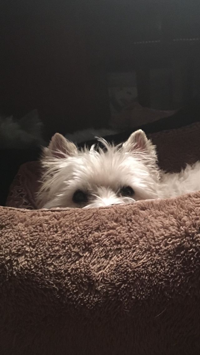 Pin By Lisa On Cairn Terrier Photos Westie Puppies Westies Dogs