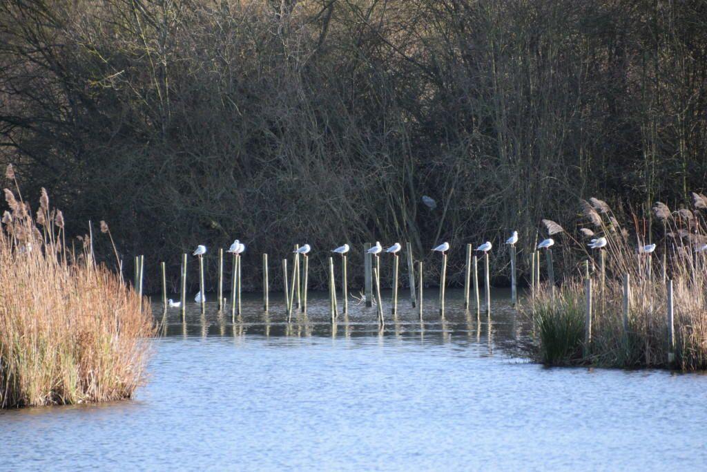seagulls-lea-valley-colinjamesweb