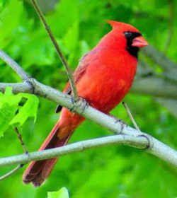 Virginia State Bird Northern Cardinal Cardinalis Cardinalis State Birds Bird Northern Cardinal