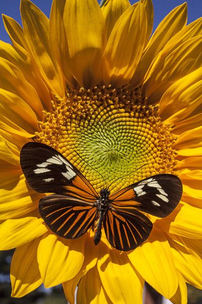Print of Sunflower with speckled butterfly
