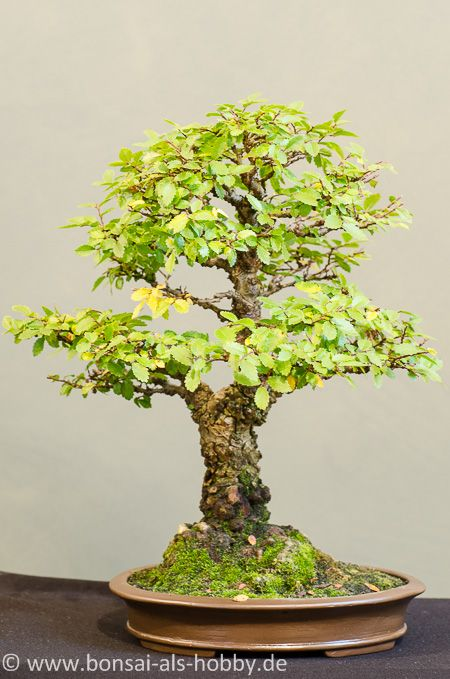 Ulmen shohin bonsai pinterest bonsai bonsai baum for Bonsai pflanzen