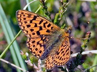 Suohopeatäplä, Boloria aquilonaris - Perhoset - LuontoPortti